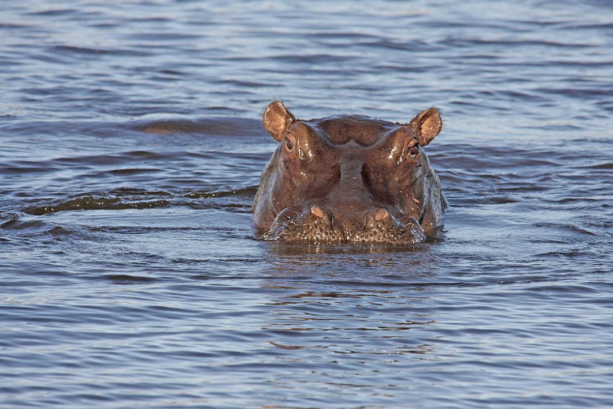 Botswana: Flusspferd