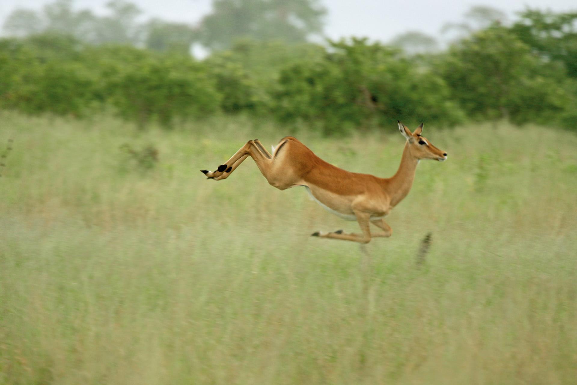 Botswana: Antilope