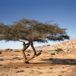 Jordanien - Wadi Araba Tree