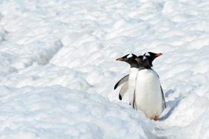 Eselspinguine auf dem Pinguin-Highway