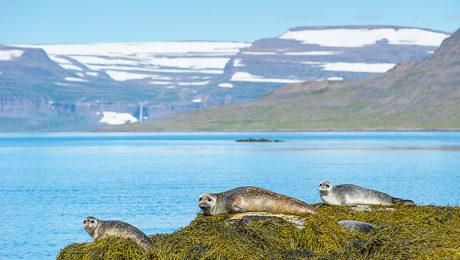 Landschaftsaufnahme mit Kegelrobben, Westfjorde, Island, @Katrin Schmidt