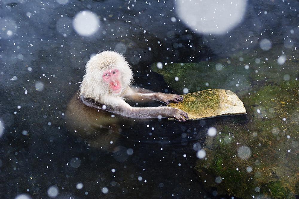 Japanmakake - Schneeaffe, ©Katrin Schmidt