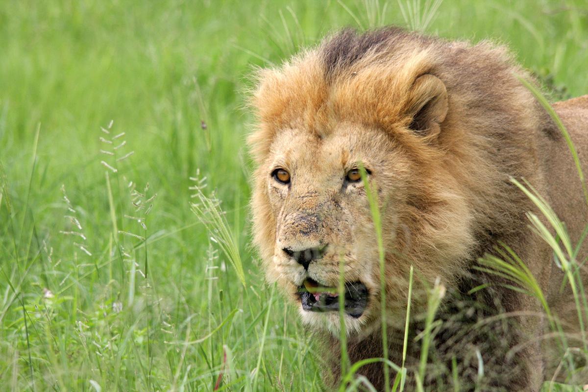 Botswana: Löwe