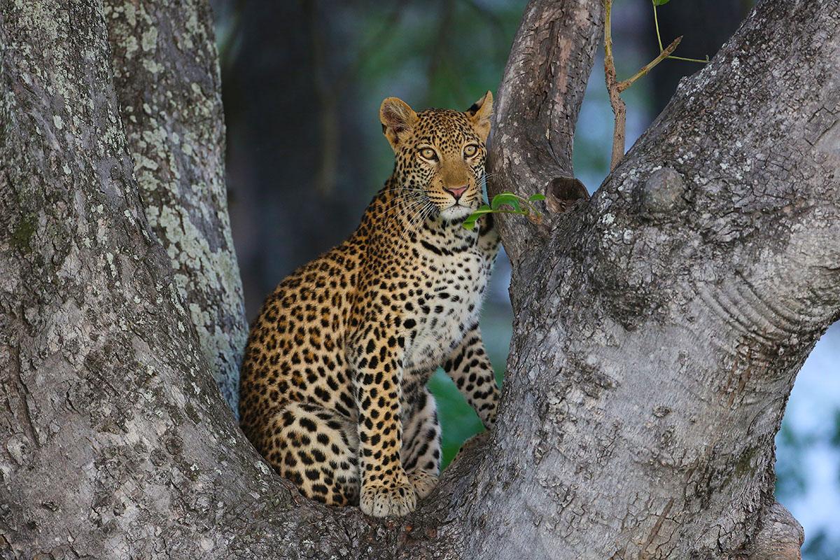 Botswana: Aufmerksame Wildkatze