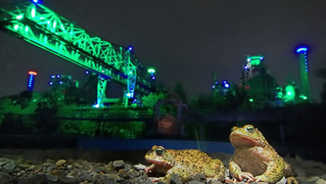 Kreuzkröten im LaPaDu, © Wildes Ruhrgebiet