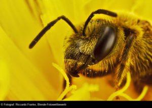 © Riccardo Franke, Honigbiene, Blende-Fotowettbewerb