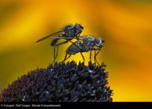 © Rolf Gorges, Fliegenpaar auf Sonnenhut, Blende-Fotowettbewerb