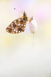 Braunfleckiger Perlmutterfalter, © Alexander Ahrenhold