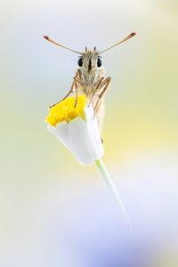 Braunkolbiger Braun-Dickkopffalter, © Alexander Ahrenhold