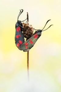 Gemeines Blutfleckchen, © Alexander Ahrenhold