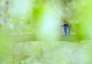 Eisvogel - Deutschlandsafari - Naturfotografie im Ruhrgebiet, © Markus Botzek