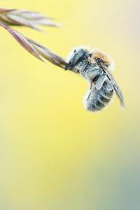 Wildbiene, © Alexander Ahrenhold